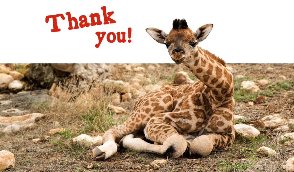 "a baby giraffe sitting down and says ""Thank You"" at the top of the image"